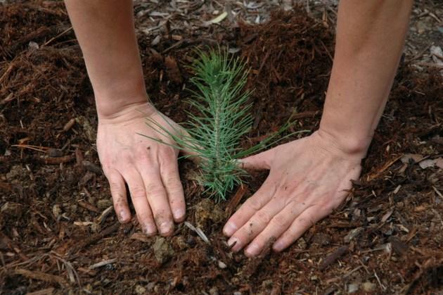Sapling planting
