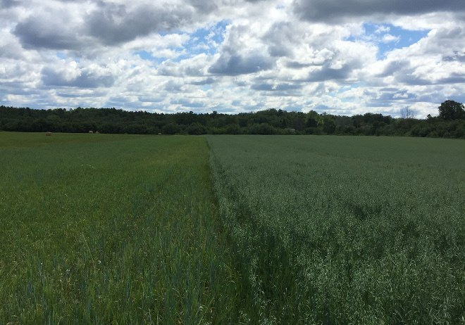 Crop trials of varieties of malting barley are currently underway at sites across Northern Ontario, at research stations in Emo, New Liskeard and Thunder Bay, and in Algoma by the Rural Agri-Innovation Network. (Supplied photo)