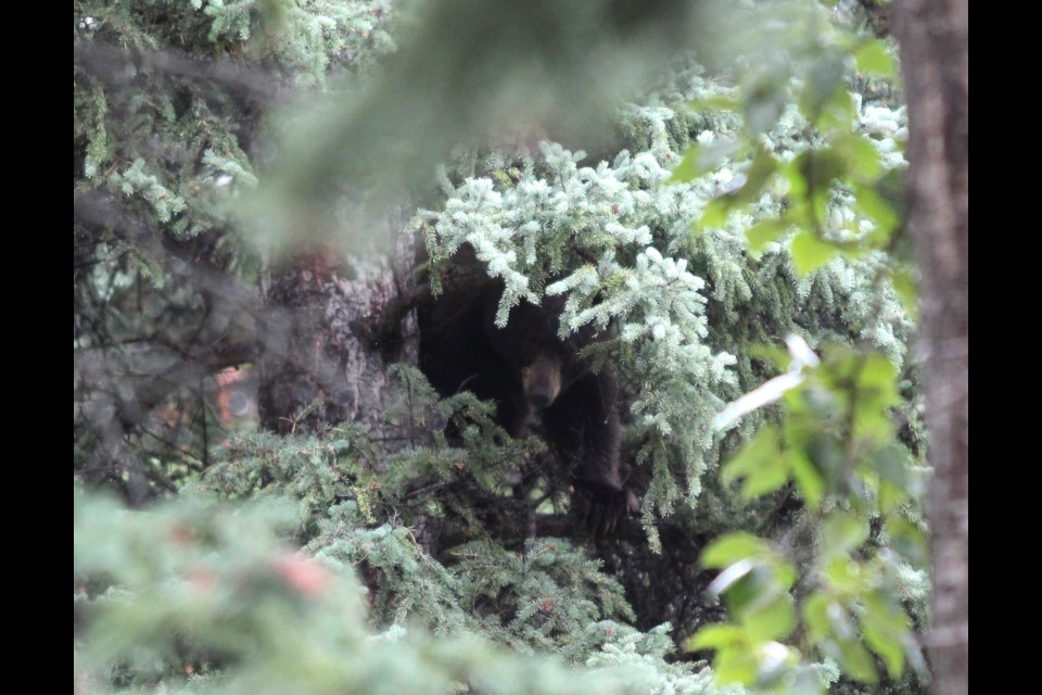 A black bear sits in a tree in a Canmore residential neighbourhood on Aug. 31. JORDAN SMALL RMO PHOTO